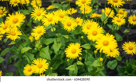 yellow gerberas flowers with blur background