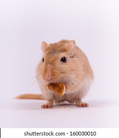 Yellow gerbil eating a piece of cookie