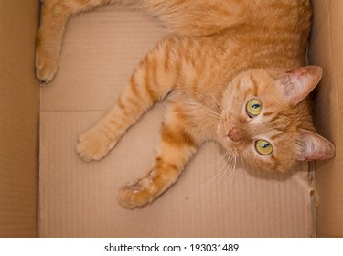 yellow ginger cat in box pet isolated