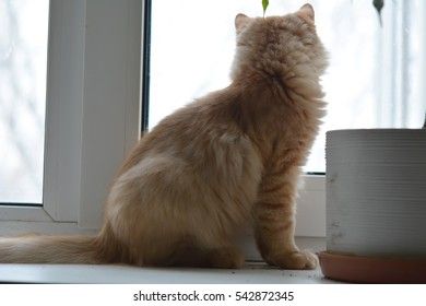 Yellow ginger cat on the windowsill