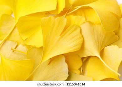 Yellow ginkgo biloba
