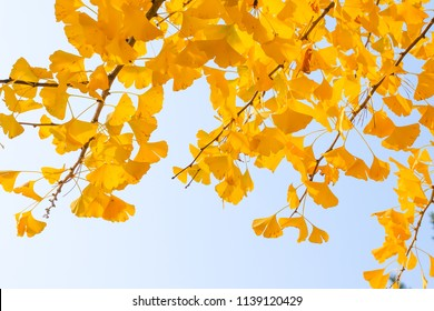 Yellow ginkgo biloba leaves  in autumn