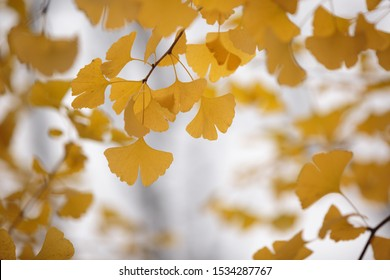 yellow Ginkgo biloba leaves on tree branches in autumn on a blurred background