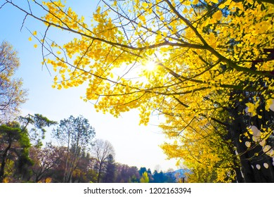 Yellow ginkgo biloba leaves tree in autumn on blue sky nature background