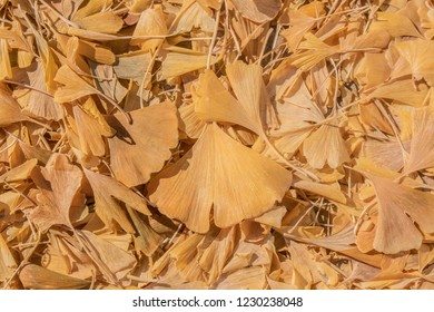 Yellow ginkgo biloba or maidenhair tree leaves on the ground in the autumnl - background