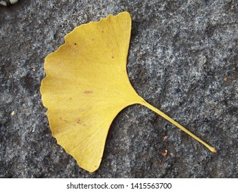 The yellow Ginkgo leaf fallen on the granite paving in autumn. The tree, Ginkgo biloba, also known as Maidenhair tree, is widely cultivated and used in traditional chinese medicin.