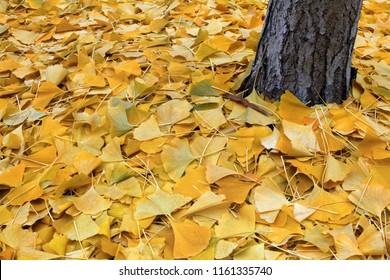Yellow ginkgo leaves in autumn, ginkgo or gingko