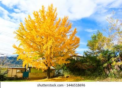yellow ginkgo tree in chichibu
