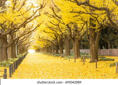 Yellow ginkgo trees and yellow ginkgo leaves at Ginkgo avenue.(Icho Namiki) Tokyo,Japan.
