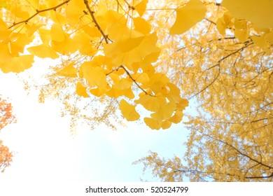yellow ginko leaves on tree