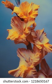 yellow gladiolus on a blue background. close-up.