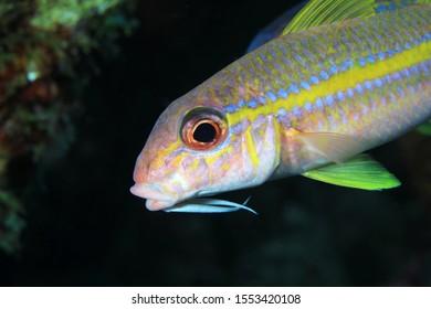 Yellow goatfish (Mulloidichthys martinicus) underwater in the caribbean sea of Bonaire