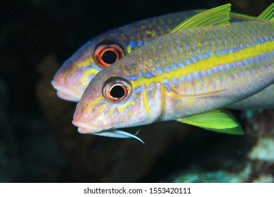Yellow goatfishes (Mulloidichthys martinicus) underwater in the caribbean sea of Bonaire