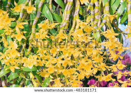 Yellow gold asian orchid flowers green stock photo edit now yellow or gold asian orchid flowers with green stems name dendrobium lindleyi steud or honey fragrant mightylinksfo