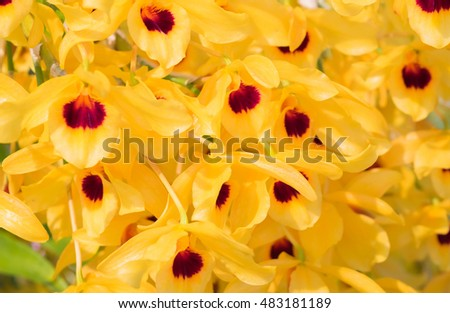 Yellow gold asian orchid flowers red stock photo edit now yellow or gold asian orchid flowers with red pollen name dendrobium lindleyi steud or honey fragrant mightylinksfo