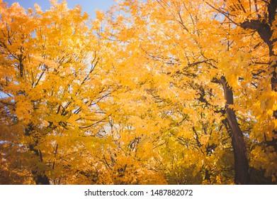 Yellow gold autumn trees background