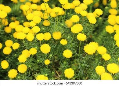 "Yellow ""Golden Hair"" flowers (or Shrub Goldilocks, Golden Bitter Bush, Golden Heads) in St. Gallen, Switzerland. Its Latin name is Chrysocoma Coma-aurea, native to South Africa."