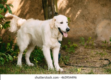 Yellow Golden Labrador Retriever Dog With Half Open Jaws Mouth, Tongue Standing Full-Length Against The Wall.