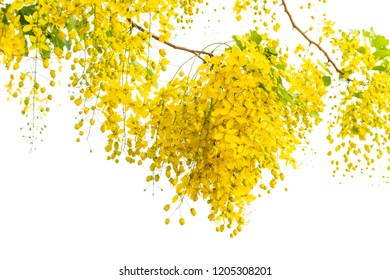 Yellow Golden shower ,Cassia fistula flower with white background.