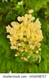 Yellow golden shower flowers or Cassia fistula blooming in tropical garden