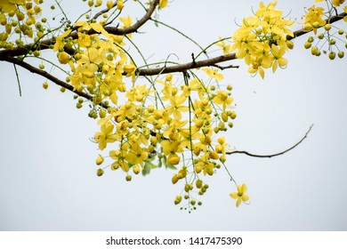 Yellow Golden Shower Flowers Cassia fistula