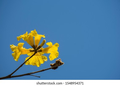 The yellow golden trumpet tree flower