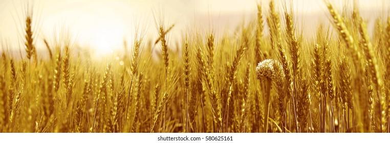 Yellow golden Wheat field panorama
