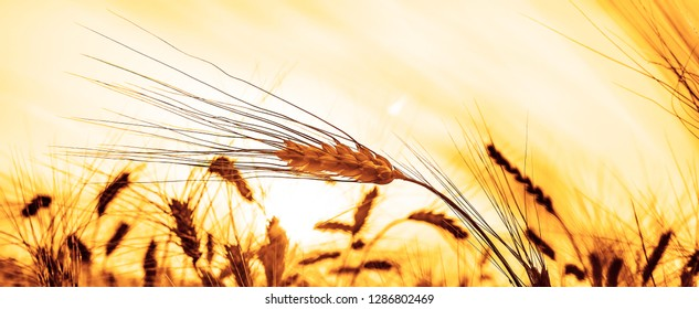 yellow golden  wheat spike . Yellow grain ready for harvest growing in a farm field