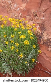 yellow goldeneye flowers in desert with red sandstone