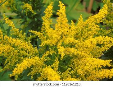 yellow goldenrod flowers