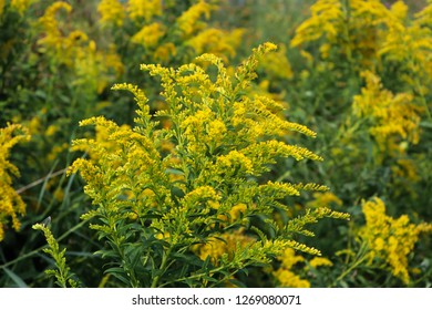Yellow goldenrod plant in a field