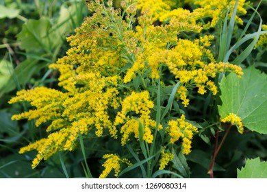 Yellow goldenrod plant in the woods
