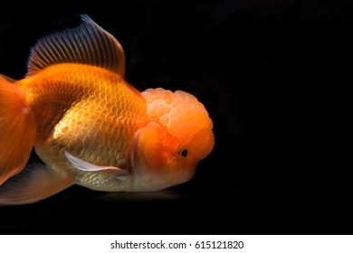 Yellow goldfish.