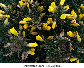 Yellow gorse flower with thorns