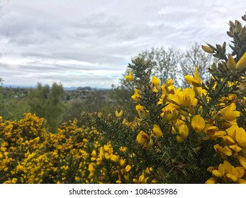 Yellow gorse flowers with blurred castle in far distance