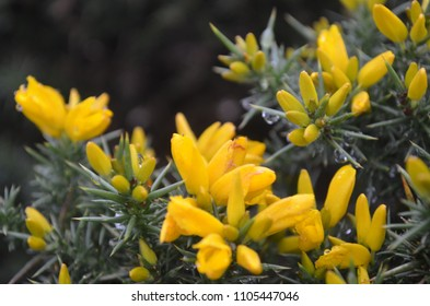 Yellow Gorse Flowers in the Mist