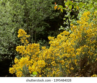 Yellow gorse plant/flowers in spring time