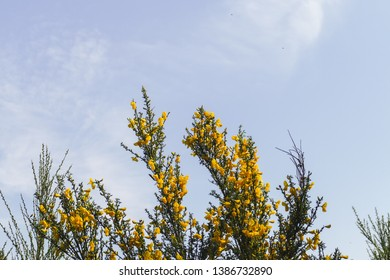 Yellow gorse (Ulex) flowers against a blue sky on a spring day