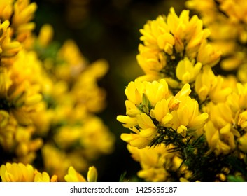 Yellow gorse (Ulex) flowers in Scotland.  It is also called Whin or Furze.