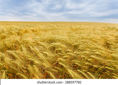 Yellow grain close-up ready for harvest growing in a farm field. Crimea. Russia. Ukraine
