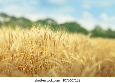 Yellow grain ready for harvest growing in a farm field