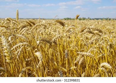 Yellow grain (wheat) ready for harvest growing in a farm field