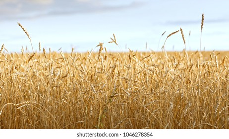 Yellow grains of wheat ready for harvest growing in a farm field
