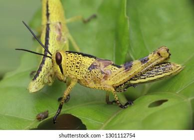 yellow grashopper cubs