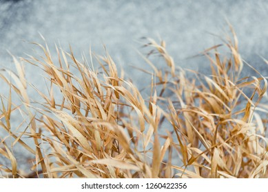 Yellow grass in front of out of focus ice background