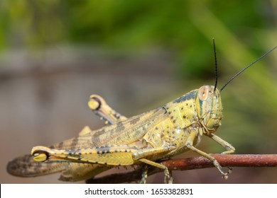 Yellow Grasshopper on green leaf in the park