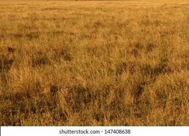 Yellow grasslands of the African savannah.