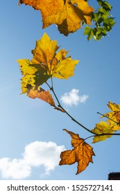 Yellow and green autumn leafs on bright blue sky
