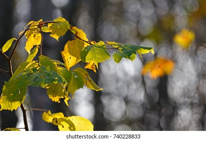 Yellow and green backlit elm leaves in Autumn colours on a sunny late October morning in the forest in Helsinki, Finland.