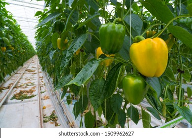 yellow and green bell peppers in a greenhouse